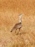 Kori Bustard, Masai Mara Royalty Free Stock Image