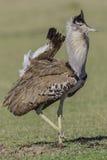 Kori Bustard masculin, plumage d'élevage Photographie stock libre de droits