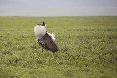 Kori bustard in mating plumage, Ngorongoro Crater, Tanzania. Kori bustard displaying mating plumage in Ngorongoro Crater, Tanzania, Africa Royalty Free Stock Photo