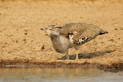Kori Bustard - Natural fly trap Royalty Free Stock Photo