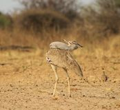 Kori Bustard - Natural Pose Royalty Free Stock Photography