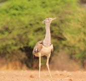 Kori Bustard - Natural Stance Stock Photos