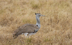 Kori Bustard in the  Ngorongoro Crater Stock Image