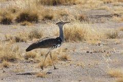 Kori Bustard - parque nacional de Etosha - Namíbia Imagens de Stock