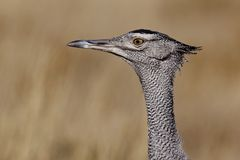 Kori bustard portrait Stock Photos