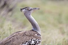 Kori Bustard, portrait shot of heaviest flying bird in the world Royalty Free Stock Photos