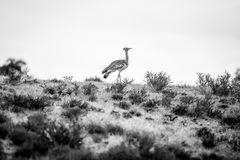Kori bustard on a ridge in black and white. Stock Photography