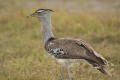 Kori Bustard in the Savannah Stock Photo