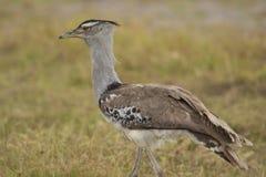 Kori Bustard in the Savannah. Kori bustard in Amboseli National Park of Kenya Stock Photo