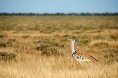Kori bustard in the savannah. Kori bustard a really large flying bird, photographed in the namibian savannah Royalty Free Stock Photos
