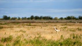 Kori bustard in the savannah. Kori bustard a large flying bird, photographed in the namibian savannah Stock Photography