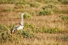 Kori bustard in the savannah. Kori bustard one of the largest flying bird, photographed in the namibian savannah Royalty Free Stock Images