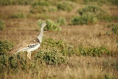 Kori bustard in the savannah. Kori bustard one of the largest flying bird, photographed in the namibian savannah stock images