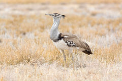 Kori Bustard Royalty Free Stock Photos
