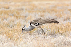 Kori Bustard. Royalty Free Stock Photo