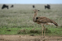 Kori Bustard - Serengeti Safari, Tanzania, Africa Royalty Free Stock Images