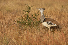 Kori bustard in tall yellow grass Stock Image