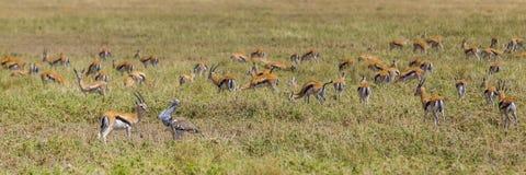 Kori bustard with Thomson's gazelle Royalty Free Stock Photography