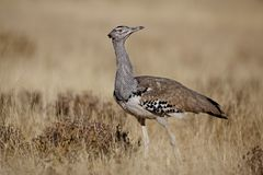 Kori bustard walking the Etosha plains Royalty Free Stock Images
