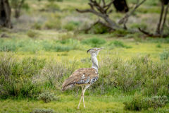 Kori bustard walking in the grass. Royalty Free Stock Image