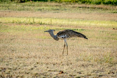 Kori bustard walking in the grass. Stock Image