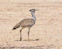 Kori Bustard. A Kori Bustard walking  in Namibian savanna Royalty Free Stock Images