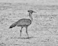 Kori Bustard. A Kori Bustard walking  in Namibian savanna Royalty Free Stock Photos