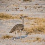 Kori Bustard. A Kori Bustard walking  in Namibian savanna Stock Images