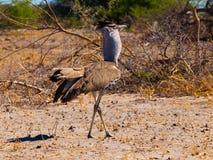 Kori bustard. Walking in savanna (Chobe National Park, Botswana Stock Photos