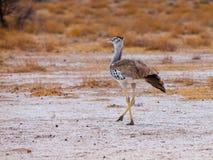 Kori bustard. Walking in savanna (Chobe National Park, Botswana Royalty Free Stock Images
