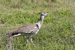 Kori Bustard Walking in the Savannah. Kori bustard in Ngorongoro Crater, Tanzania Royalty Free Stock Image