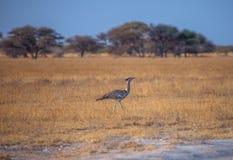 Kori Bustard. Walks in savanna of Botswana, southern Africa Stock Photo