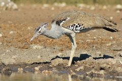 Kori Bustard - Wild Birds from Africa - Camouflage and Color Royalty Free Stock Photo