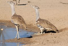 Kori Bustard - Wild Birds from Africa - Curious Pair of Camouflage and Color Royalty Free Stock Photo