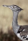 Kori bustard, the world's heaviest flying bird Royalty Free Stock Photo