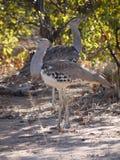Kori bustards in South Africa. Kori bustards (Ardeotis kori) in Kruger National Park, South Africa. Africa's largest native bird species Royalty Free Stock Image