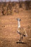 Kori de Kori Bustard Ardeotis que anda através do savana, África do Sul Foto de Stock