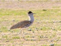 Kori drop fotografujący w Kgalagadi Transfrontier parku narodowym między Południowa Afryka, Namibia i Botswana, Obraz Royalty Free