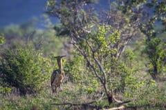 Kori drop w Kruger parku narodowym, Południowa Afryka Zdjęcia Stock