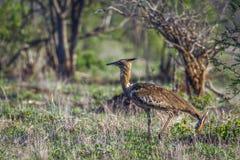 Kori drop w Kruger parku narodowym, Południowa Afryka Fotografia Stock