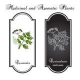 koriander Royaltyfri Illustrationer
