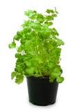 Koriander in een pot Stock Afbeelding