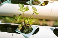 Koriander Organische groenten op waterpijp Stock Afbeeldingen