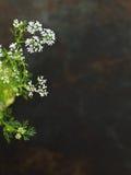 Korianderbloemen royalty-vrije stock fotografie