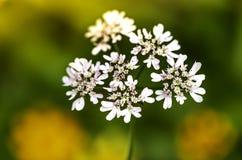 KORIANDERbloemen OP KORIANDERgebied royalty-vrije stock foto's