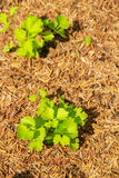 Koriandergrönsak Royaltyfri Fotografi