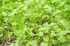 Korianderjonge plant stock afbeelding