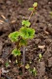 Korinthe, die im Garten wächst Lizenzfreie Stockfotografie
