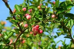 Korinthe oder Karanda, Carunda, Frucht ist gesund stockfotos