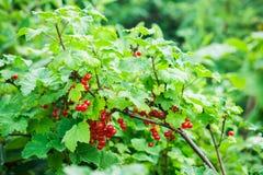 Korinthenbusch mit Bündeln der reifen roten Johannisbeeren Stockfotos